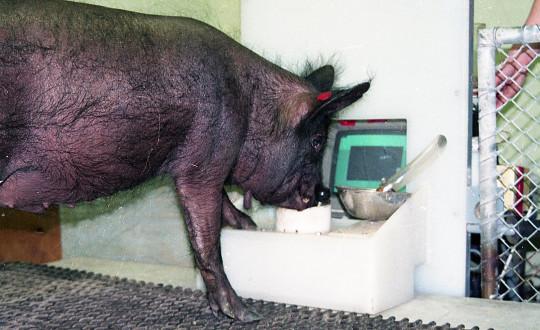Les scientifiques savaient déjà que les porcs ont une intelligence remarquable (Candace Croney)