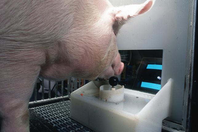 Les porcs pourraient utiliser leur museau pour déplacer le joystick et obtenir des récompenses (Eston Martz / Pennsylvania State University)